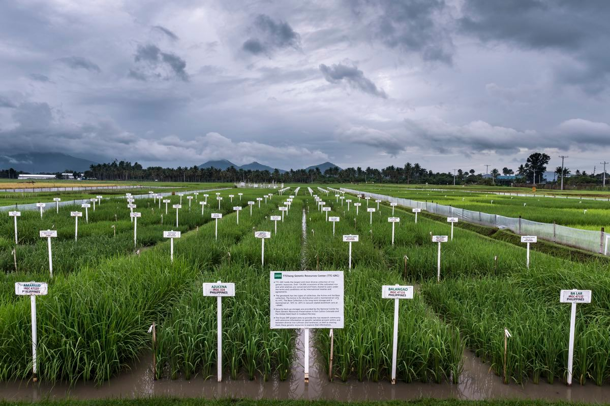 Rice Cultivation in the Philippines.