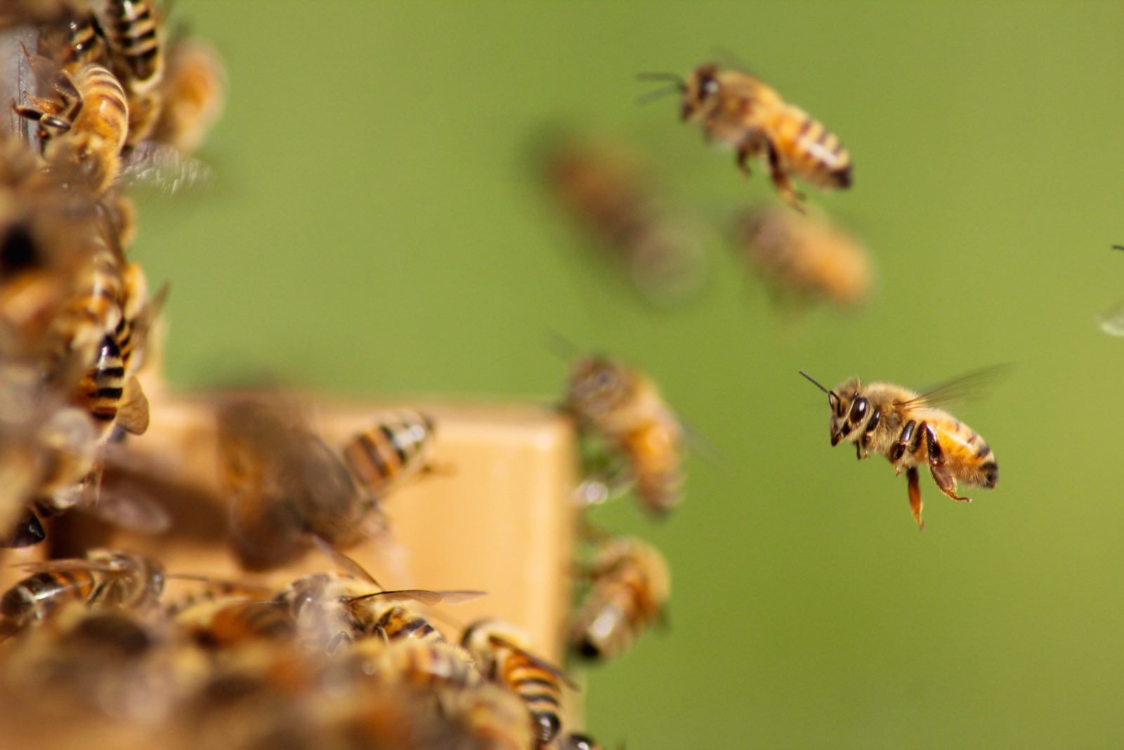 The loss of biodiversity is the greatest threat to humanity. Bee mortality makes that particularly clear. Picture credit: Damine Tupinier, unsplash.