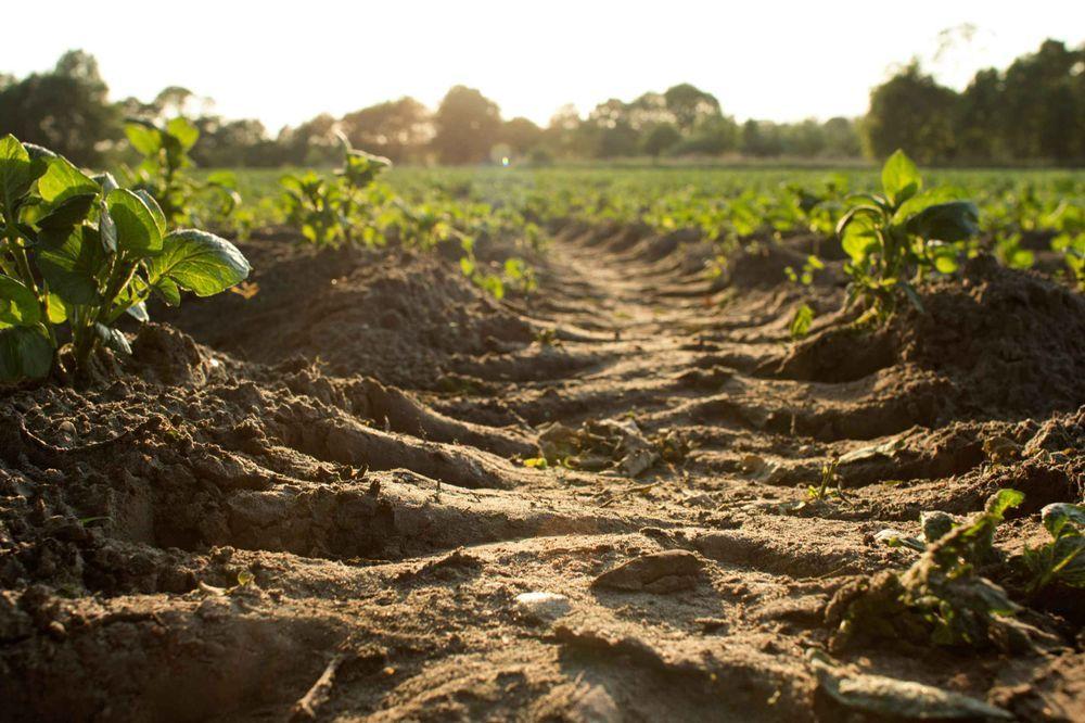 Ackerboden mit Traktorspuren, gründe Pflänzchen wachsen auf dem Feld im Abendlicht