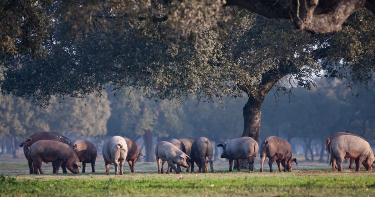 Eine Gruppe von 12 freilaufenden Schweinen frißt unter einem großen Baum